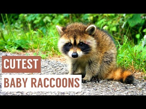 Baby Raccoon Eating and Swimming Compilation