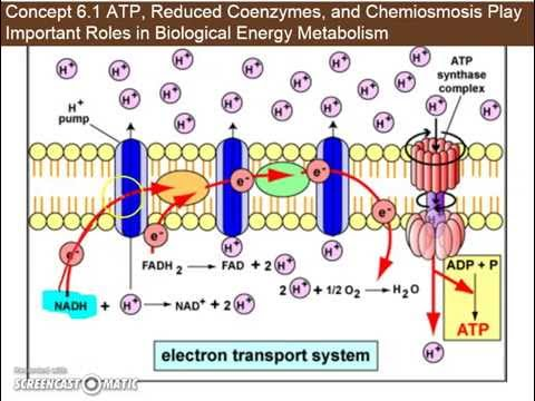 Ch  6.1d - Chemiosmosis and ATP Synthesis