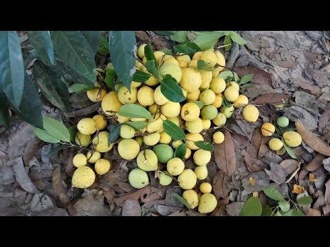 Cambodia ORGANIC Fruite Call Kuy