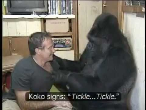 Koko the Gorilla with Robin Williams.mp4