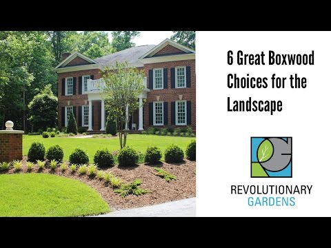 Planting Boxwood: 6 Great Choices