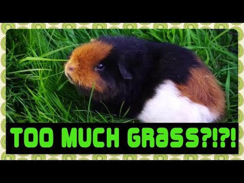 Hello Spring! Guinea Pig Floortime, Updates and a Warning About Fresh Grass!