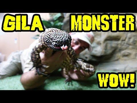MOST RARE VENOMOUS LIZARDS IN THE WORLD: Gila Monster & Beaded Lizard