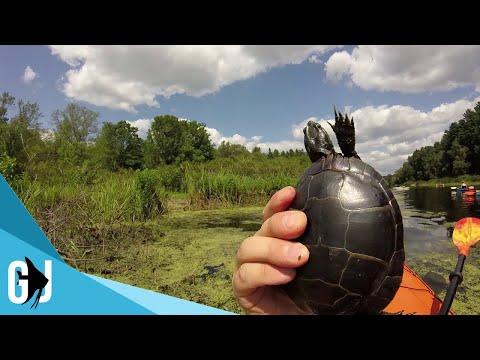 #503: Painted Turtles Underwater Video Charles River Kayak 2017 - Update Monday