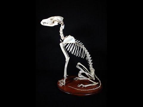 skeleton reconstruction: preparing the specimen