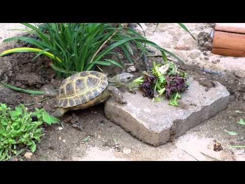 Russian Tortoise in outdoor habitat