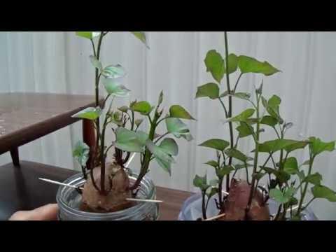 Rooting/Growing Sweet Potatoes in Water. July 10, 2017