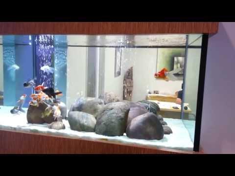 Gold Fish Tank at Aquarium Design Group in Houston Texas