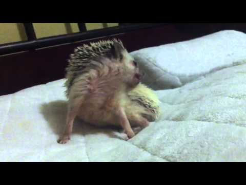 What Happens When You Let a Hedgehog Sleep On Your Pillow?