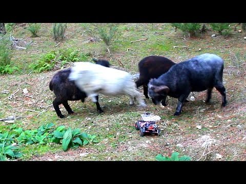 Feeding the Angry Ram with an R/C Monster Truck
