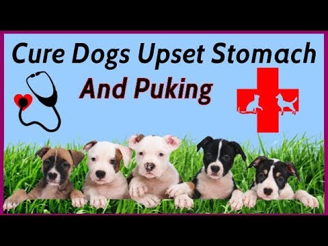 How to  Cure Dogs Upset Stomach and Puking Problem 🐶