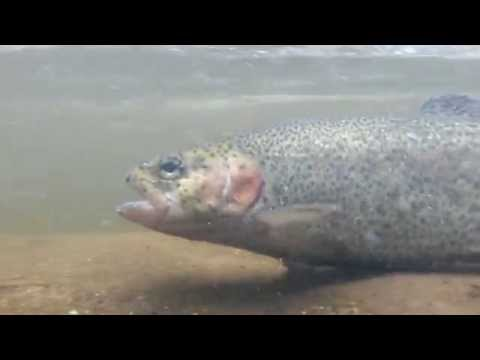 Rainbow Trout and Wild Brown Trout Underwater Releases - Black River NJ