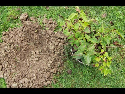 Three Year Old Lilac Bush Grown From Seed!-Planting It In The Ground