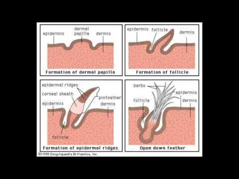 What are Dermal Papillae
