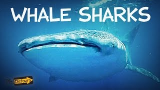 The Biggest Shark in the World