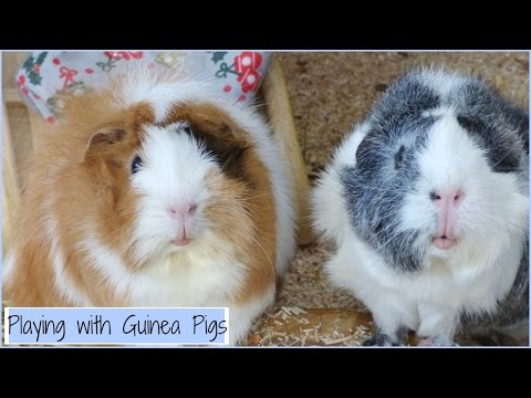 How to Play with your Guinea Pigs & Boredom Breakers