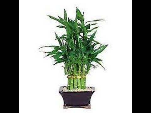 VASTU - Lucky Bamboo plant brings wealth and prosperity in your life