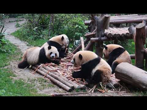 Giant Pandas snack time