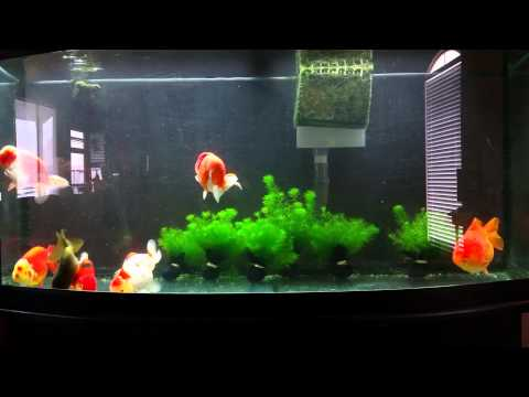 Goldfish Tank - The Power of Filtration