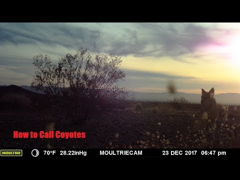 How to Call Coyotes