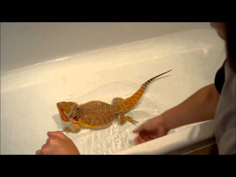 Washing bearded dragons | Do's + Dont's