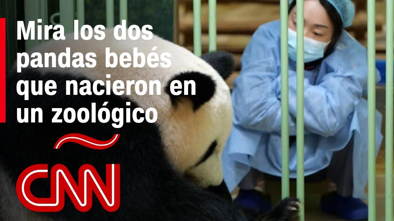 Un zoológico de Francia celebra el nacimiento de dos pandas gigantes