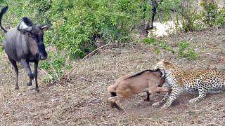 Battle Between Leopard & Wildebeest Mother over Calf