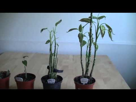 Casio Wristwatch Plant Growth Experiment Results January 2016