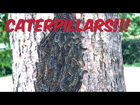 MASSIVE CONGREGATION OF PUPATING TENT CATERPILLARS!!!