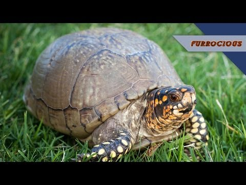 Box Turtles are Fussy and Gross