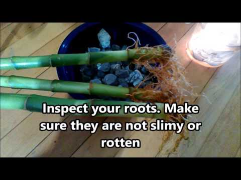 How to Fix Yellowing on Lucky Bamboo