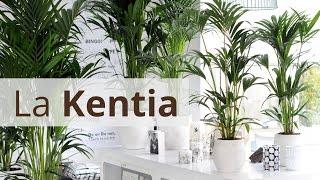 La Kentia: cuidados y caracteristicas