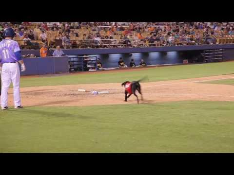 Labrador Retriever makes decisions at baseball game.