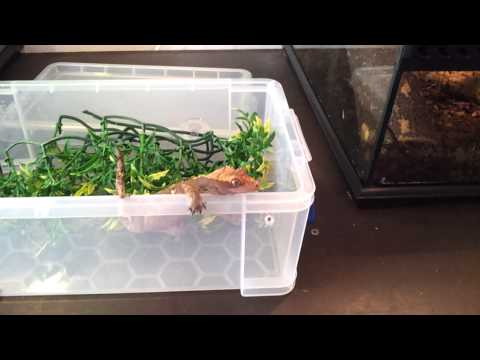 How to handle and pick up a crested gecko