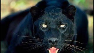 Documentaire animalier sauvage  choc HD