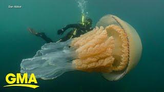 Rare, human-sized jellyfish spotted off UK coast l GMA