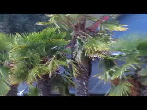 Palm Trees with Thick Trunks in the North
