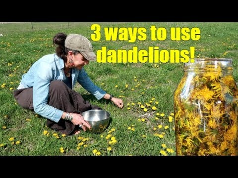 3 WAYS TO USE SPRING DANDELIONS ~ FORAGING