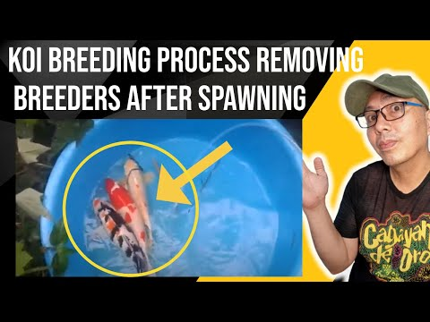 koi fish breeding process, (Step 4)  that you need to know