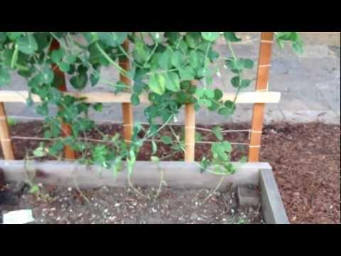 Sugar Snap Peas - Pretty Easy to Grow