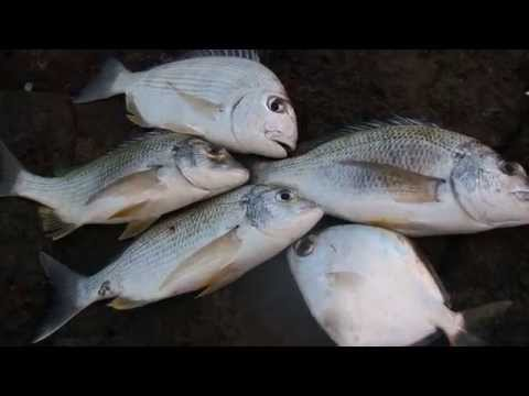 Gold Coast fishing: sea bream tarwhine butter bream , weekly catch