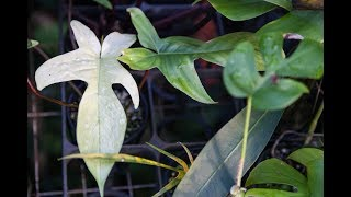 Ep 059. How to Propagate a Philodendron - Plant One On Me