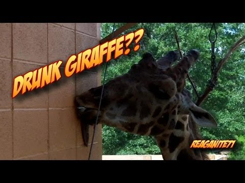 Funny Giraffe Can't Stop Licking Building