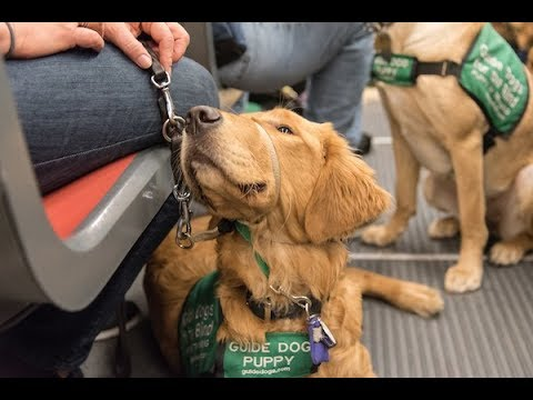 Guide Dogs for the Blind on Muni Exercise