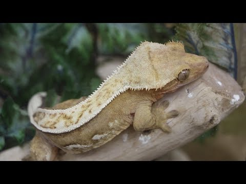 How to buy your first Crested Gecko!
