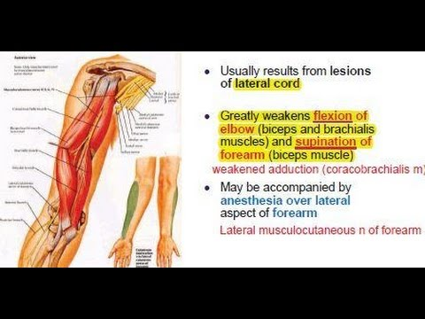 Musculocutaneous Nerve innervation C5 - C7 - Motor and somatic sensory