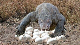 Komodo dragon laying eggs in cave in komodo island indonesia