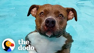 Pittie Must Be In The Pool At All Times Or Else She Gets So Sad   The Dodo Pittie Nation