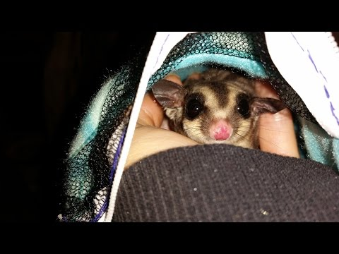 How To Put Sugar Gliders In A Bonding Pouch - Stress Free