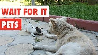 Wait For it Pets | Funny Pet Video Compilation 2017